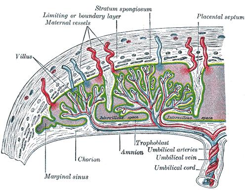 Старая плацента