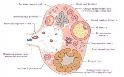 Планируемая беременность и яичниковый резерв